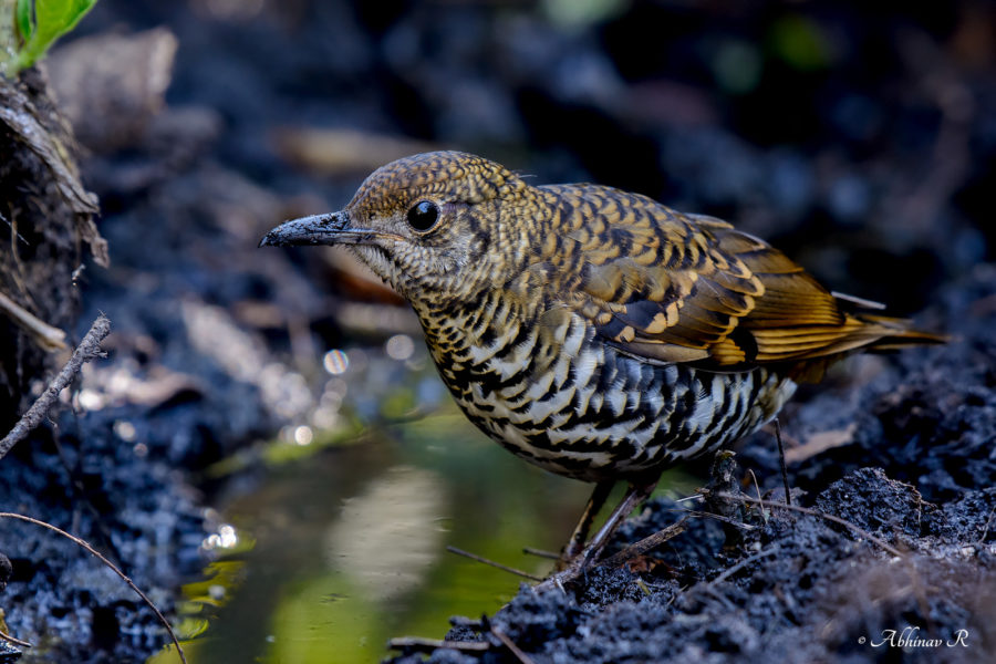 Nilgiri Thrush Bird Video - Endemic Bird of the Western Ghats - Southern India