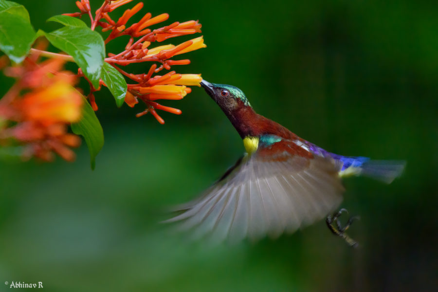 Purple-rumped Sunbird in the morning