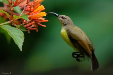 Purple-rumped Sunbird (Female)