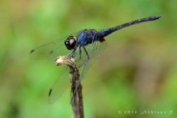 Black Stream Glider - Trithemis festiva