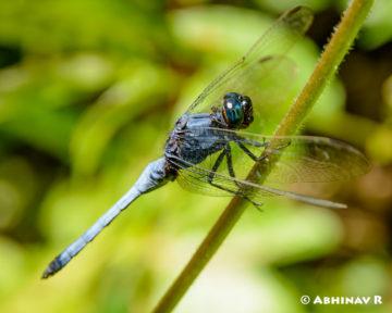 Blue Marsh Hawk - Orthetrum glaucum