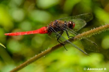 Brown Backed Red Marsh Hawk - Orthetrum chrysis