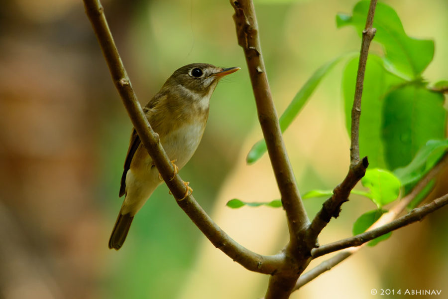 Brown Breasted Flycatcher