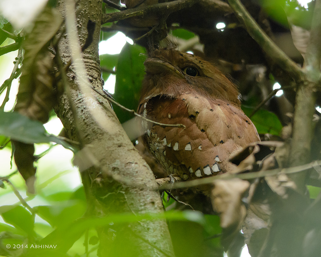 Sri Lankan Frogmouth - Birds of Periyar