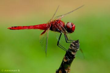 Greater Crimson Glider - Male