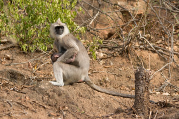 Hanuman Langur Chinnar