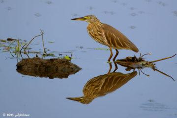 Indian Pond Heron - Alappuzha