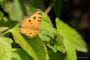 Peacock Pansy Butterfly - Periyar