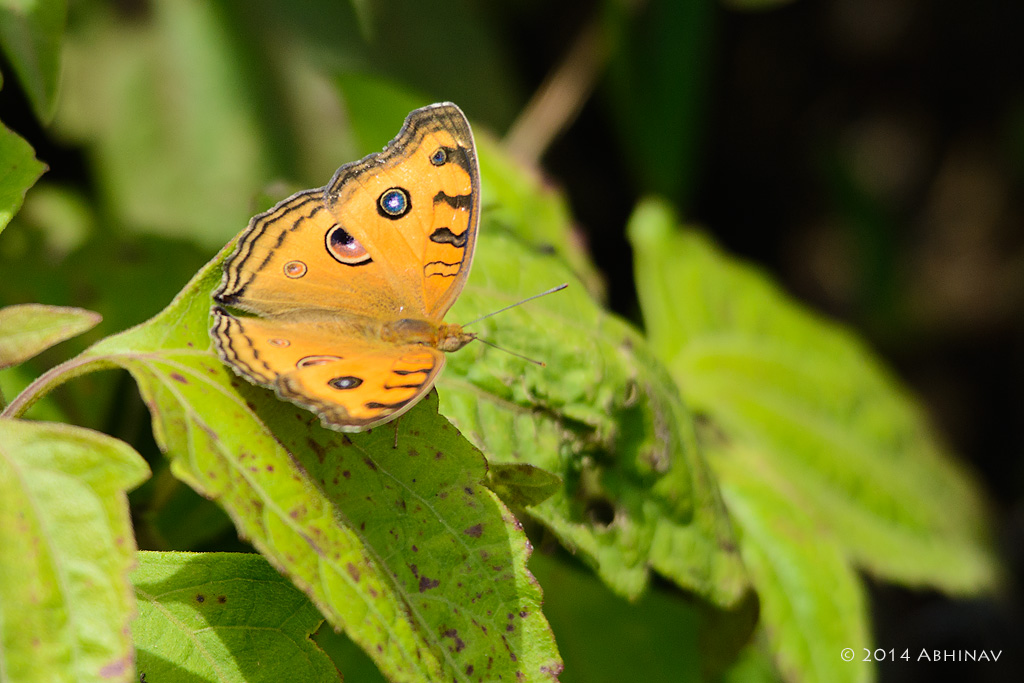 Peacock Pansy Butterfly - Butterflies of Periyar