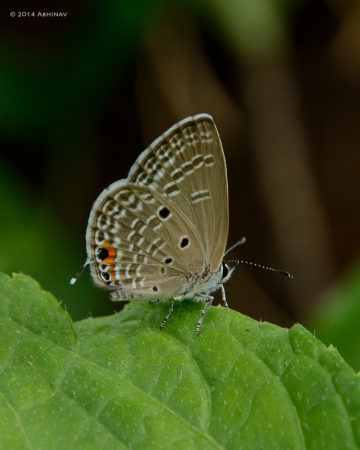 Plains Cupid Butterfly