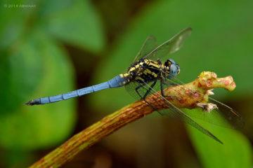 Tricolored Marsh Hawk Dragonfly