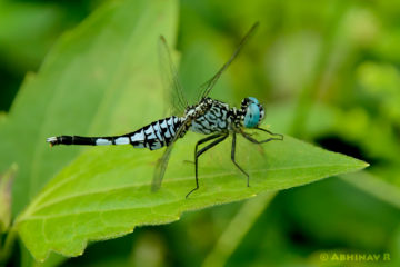 Trumpet Tail Dragonfly - Acisoma panorpoides