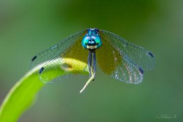 Pygmy Skimmer Dragonfly